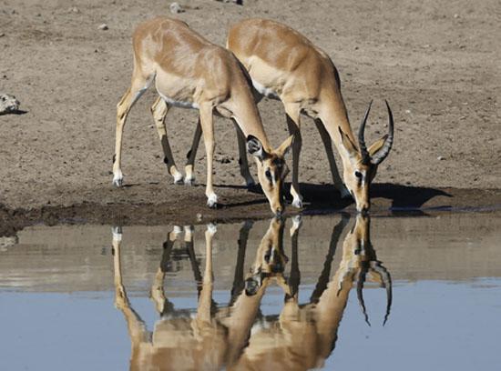 在旱季来到埃托沙国家公园,既可以选择驱车去水塘看动物,也可以选择在埃托沙国家公园里的几个营地守候动物的到来。这几个营地包括OKAUKUEJO、NAMUTONI和HALALI,每个营地都有自己固定的水源地,水源地的2/3用一堵水泥墙圈起来,加上电网围栏,确保安全。在营地里面的一侧摆放着若干长椅,方便游客观看。旱季的埃托沙国家公园真是野生动物的世界,所有的动物在经受了一天的酷暑之后都会回到这里喝水。于是你看到的场景就像是后期电脑合成的一样,大象连着长颈鹿连着跳羚连着斑马连着其他各式各样的动物,聚集于此。当然