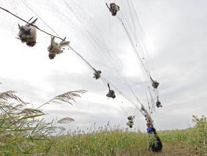 多部门一夜解救373只候鸟 破超长捕鸟网