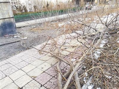 塘沽滨海立交桥下 十余棵景观树遭砍