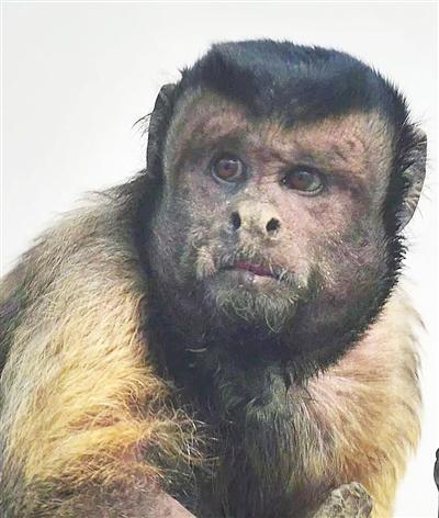 """""""人脸猴""""带热了动物园 天津动物园猿猴馆人满为患"""