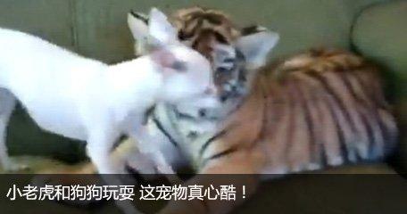 小老虎和狗狗玩耍
