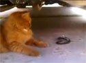 大哥喵戏耍小黑蛇