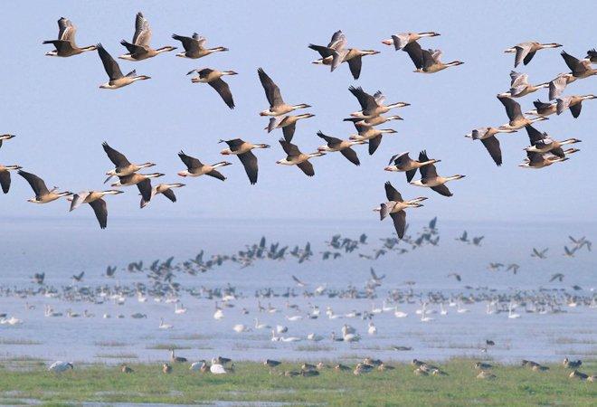 栖息在鄱阳湖的水鸟