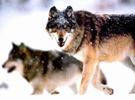 狼性文化值得被鼓吹吗