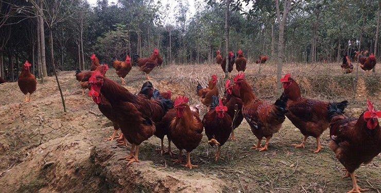 辞职回乡养鸡亏损数十万,在农村创业风险太高