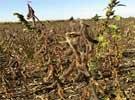 中国大豆种植如何被摧毁