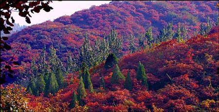 香山红叶节今天开幕