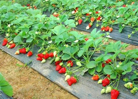 毛线棉鞋草莓花样图纸
