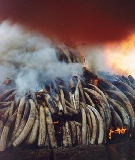 象牙——南非不能不提的资源