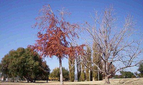 阿平顿的树