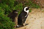 印度洋边见企鹅