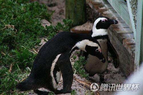 小薇世界杯日记9:非洲大陆看企鹅