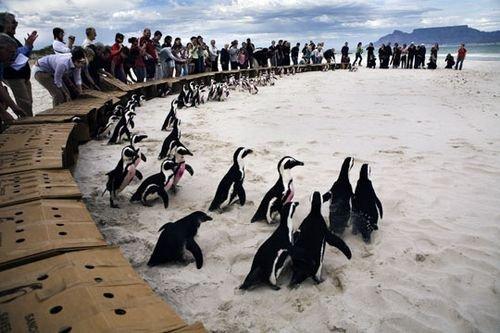 你信吗?在南非也能看见企鹅
