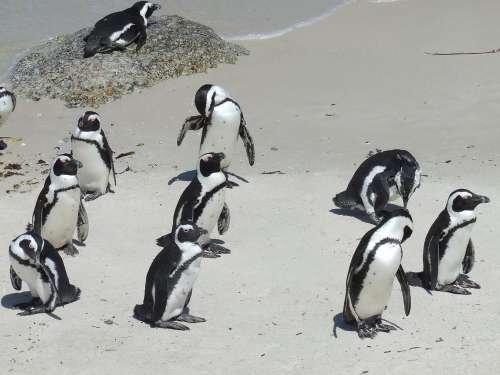 南非突遇寒流袭击 500只非洲企鹅被冻死(图)