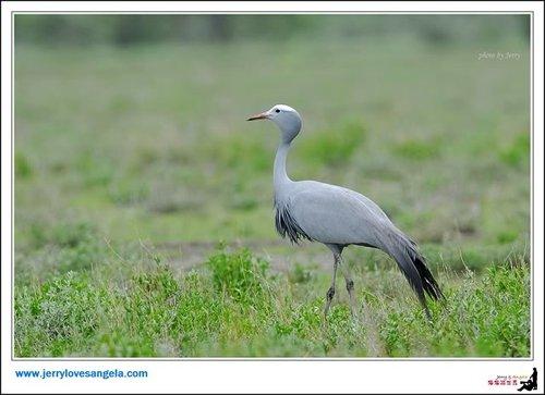 南非国鸟优雅蓝鹤
