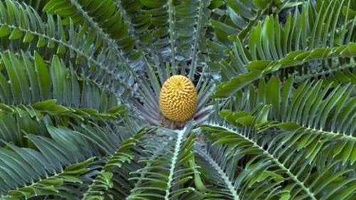 被雨皇后守护着的穆加迪苏铁林