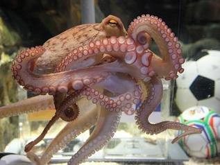 神算章鱼出生地为意大利? 身价仅为179欧元