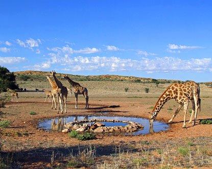 卡格拉格帝公园:非洲第一座跨国界保护公园