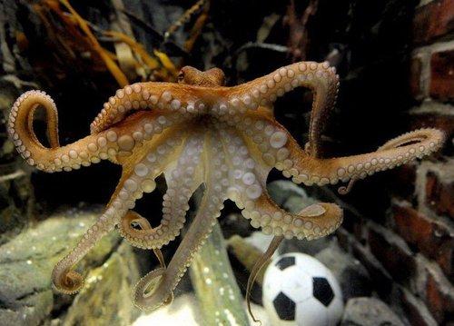 预测12次成功11次 神奇章鱼保罗让人惊叹