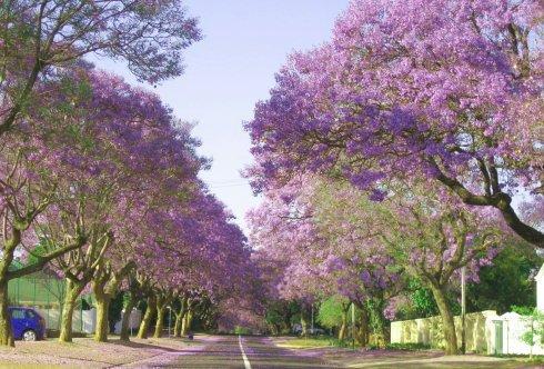 南非比勒陀尼亚花卉——紫楹花