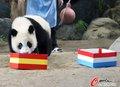 泰国熊猫力挺章鱼哥