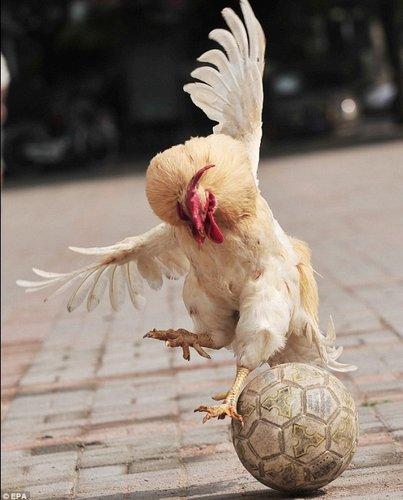英媒邀公鸡加入英格兰 踢球公鸡真正的战斗机