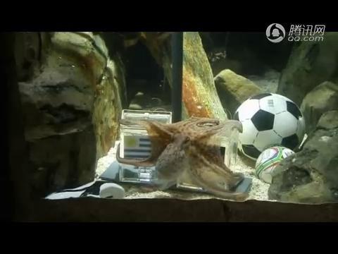 视频:章鱼保罗预测德国战胜乌拉圭获季军