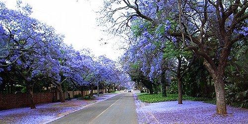 美丽的紫葳