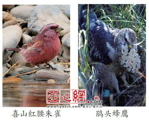 今年新疆野生鸟增至488种