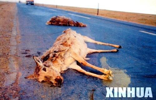 藏羚羊皮值多少钱?为什么偷猎者要冒那么大的风险还要