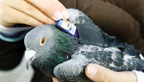 美国兴起新邮政方式:信鸽输送数码存储卡