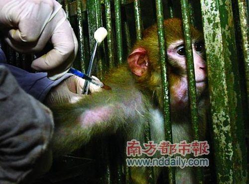 """但对于反对灵长类动物实验的人来言,""""痛苦""""是绕不过的话题."""