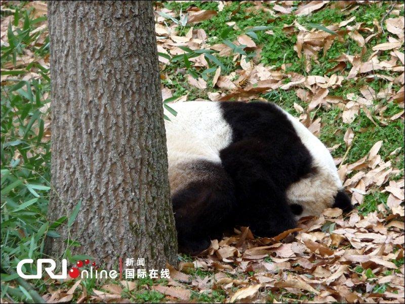 """""""泰山""""是美国国家动物园首只通过人工授精培养成活的熊猫幼仔,是"""