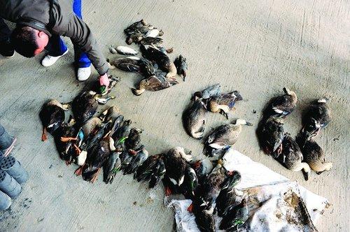 49只野鸭浐河畔被毒死 死亡原因暂未知(图)