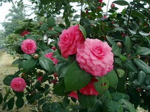 德化县城茶花   特色:德化县城的十八学士茶花是观赏性茶花,这种