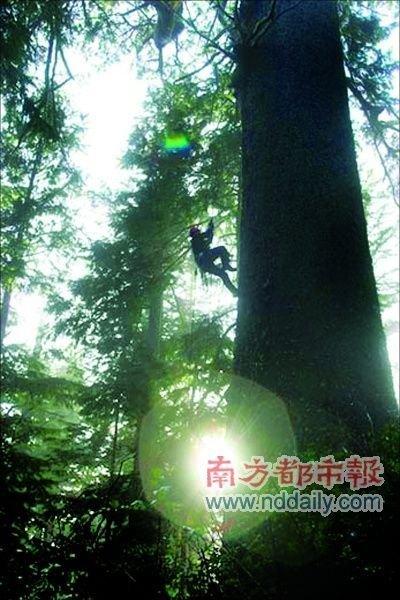 冒险家攀登世界最高树了解树上生物