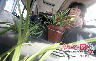 植树节,石家庄公交车厢内也增绿色(图)
