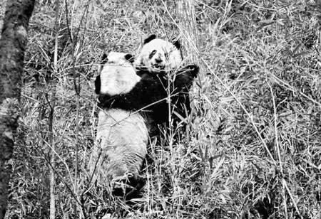 """熊猫为求爱 八天八夜不吃喝打败另一""""情敌"""""""