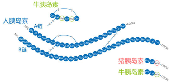 胰岛素按其作用时间长短可分为: 速效人胰岛素类似物(又称餐时胰岛素)