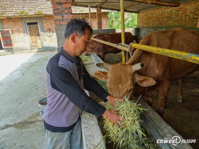 """勉县:""""牛""""人老高的脱贫致富路"""