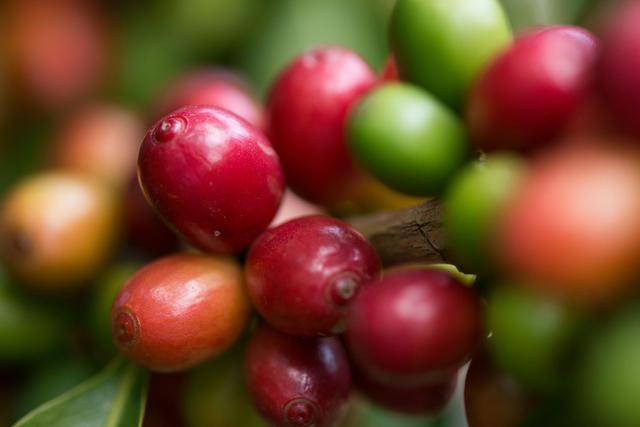 星巴克首推中国单一产区咖啡豆