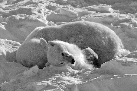 两只北极熊因气候变暖数周没食物饿死(图)
