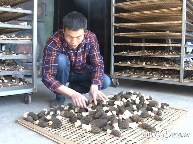 略阳农户种植羊肚菌获得成功 20亩收入60万元