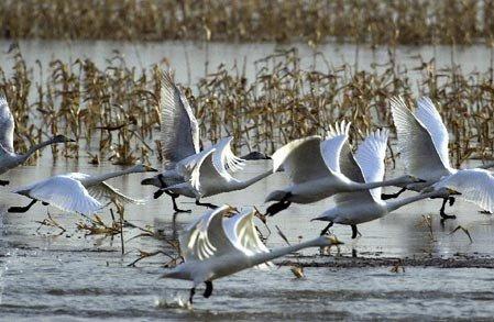 黄河生态遭严重破坏 白天鹅毒杀事件敲响警钟