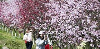 第8期:4月西安又爆一大赏花秘境 竟藏万亩桃林