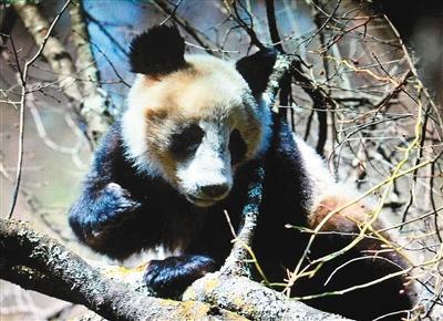 大秦相亲季    本报讯 (记者刘秉军 张红中)我国动物保护人员在佛坪县