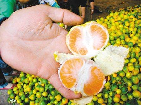 橘虫引恐慌批发商降价 市民称买时注意就行