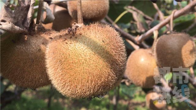 猕猴桃成熟季采摘忙 周至猕猴桃富了农民生活
