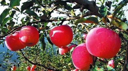 陕西苹果被选为国礼 先后赠送给多位国家元首