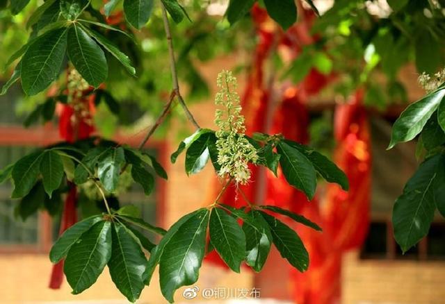 铜川宜君1360余年娑罗树开花了